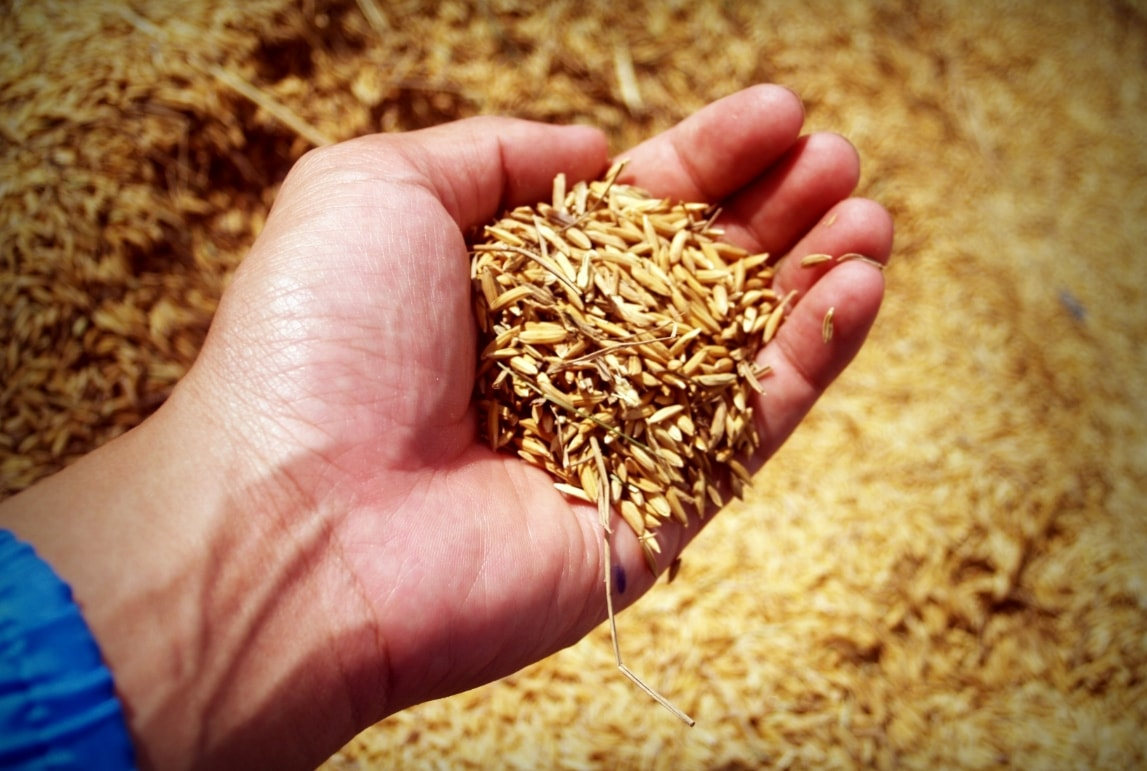 a hand holding a small pile of grain